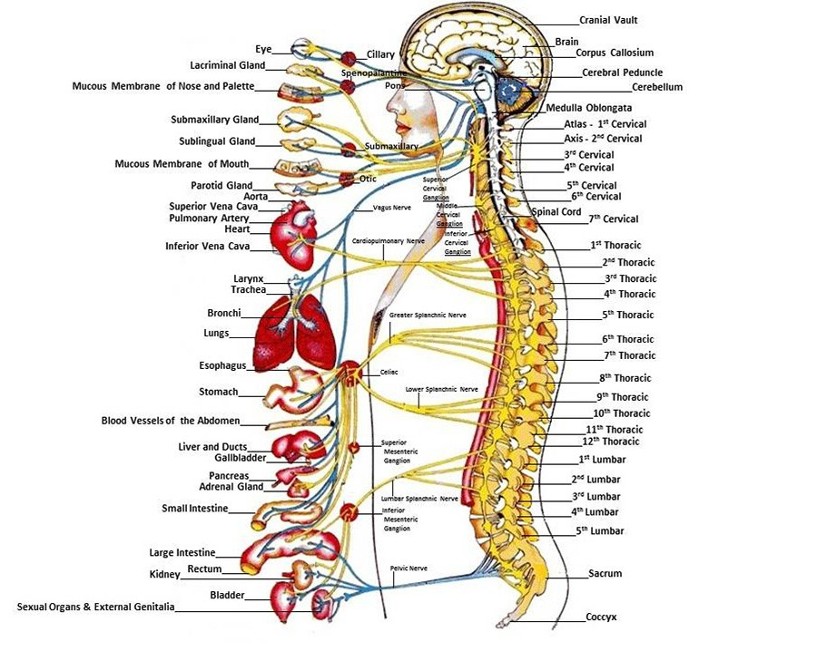 The Chiropractic Adjustment 1